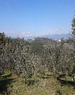 ulivi-Artimino-Carmignano